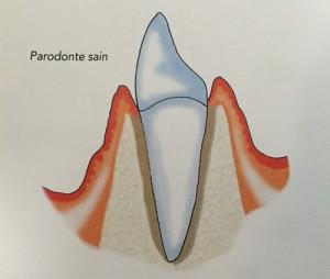 parodonte-sain